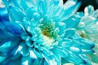 Niebieska chryzantema