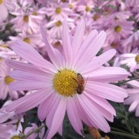 kwiaty, chryzantemy