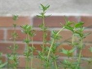 zioła - tymianek