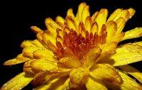 żółta chryzantema