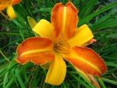 Liliowiec ogrodowy